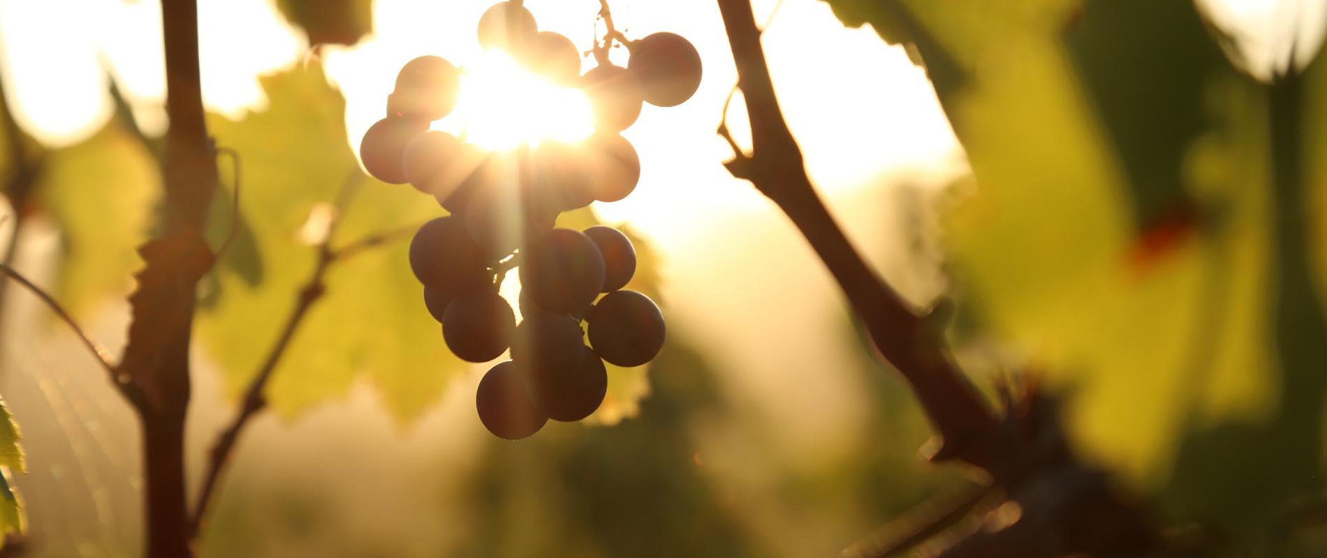 azienda-vinicola-suvereto
